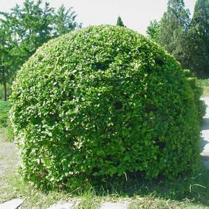 Бирючина декоративный кустарник