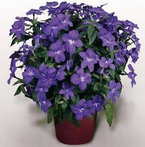 Брунфельсия экзотическое растение