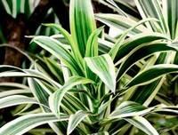 Узнайте почему у диффенбахии желтеют листья