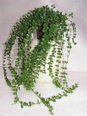 Дисхидия необычное растение дома