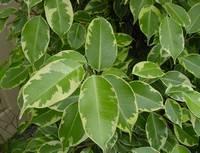 Фикус бенджамина сбрасывает листья: причины и способы лечения