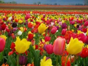 Тюльпаны во сне