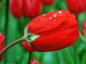 Тюльпаны красные во сне