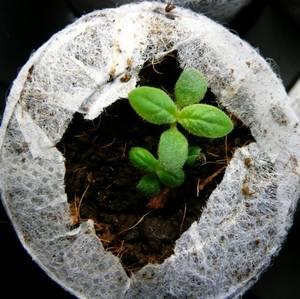 Гелиотроп перед высадкой в грунт можно вырастить рассадой