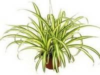 Советы профессионалов по уходу за комнатным растением хлорофитумом