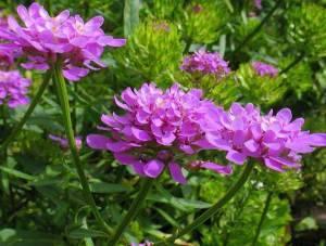 Иберис цветение в саду