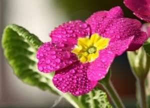 Примула цветок