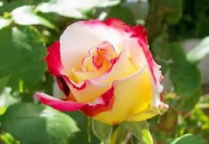 Розы во сне