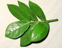 Рекомендации цветоводов по размножению замиокулькаса черенками