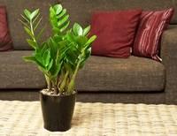 Рекомендации профессионалов по размножению замиокулькаса в домашних условиях