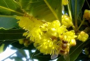 Лавр цветение