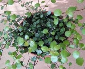 Мюленбекия листья
