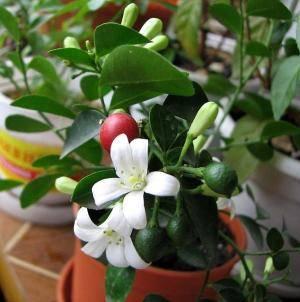 Мурайя плоды и цветы