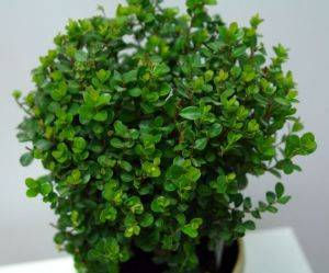 Мирсина листья