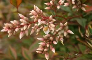 Нандина цветение