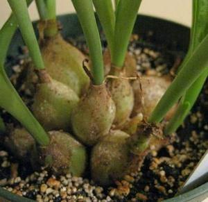Дримиопсис является луковичным растением