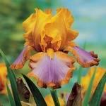 Iris gibrida