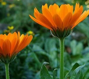 Календулу можно выращивать как декоративное растение