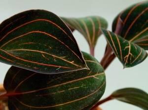 Лудизия листья