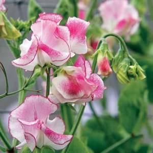 Горошек душистый прекрасно выращивается семенами