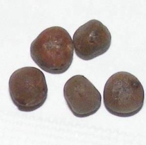 Семена горошка высевают в хорошо дренированный грунт