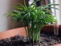 Секреты правильного ухода за комнатным растением хамедорей