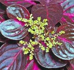 Ирезине цветет мелкими цветами