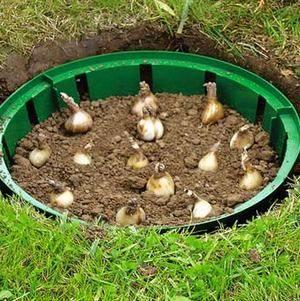 Высаживать ирисы можно весной
