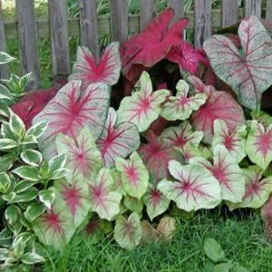 Каладиум хорошо используется в садовом дизайне