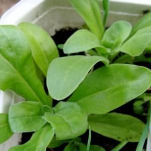 Каледнулу можно выращивать рассадой