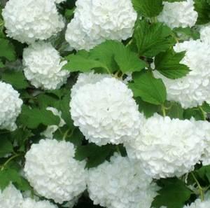 Калина бульденеж цветет белыми шарами