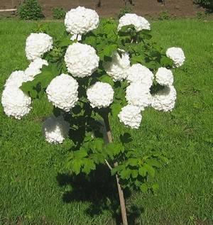 Калина бульденеж украсит любой сад
