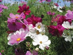 Космея цветение