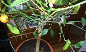 Мандарин опадают листья