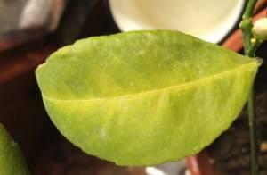 Мандарин желтеют листья
