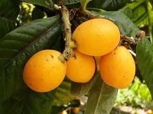 Мушмула плоды