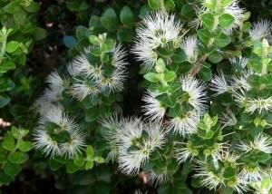 Mетросидерос листья