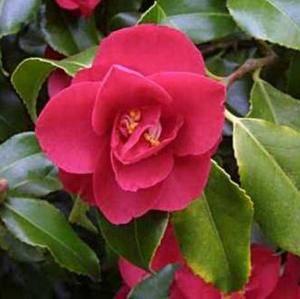 Камелия имеет прекрасные цветы
