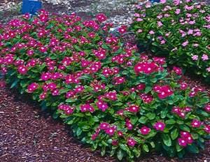 Катарантус - декоративноцветущее растение