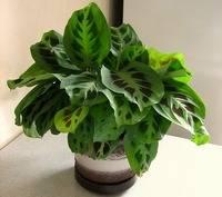 Советы цветоводов по уходу за комнатным растением марантой