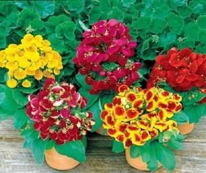 Кальцеолярия радует обильным цветением