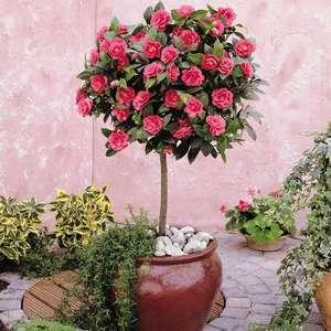 Камелия садовая украсит любой сад