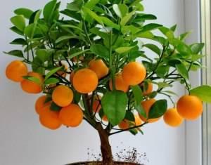 Комнатный мандарин плоды