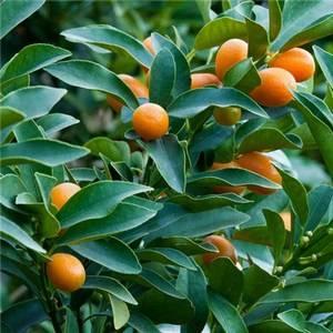 Кинкан дает небольшие плоды