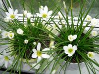Секреты ухода за комнатными луковичными растениями