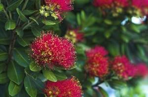 Метросидерос цветение