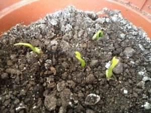 Ростки семян мандарина
