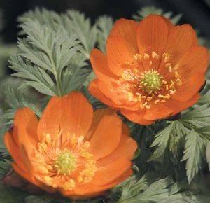 Адонис может расцветать красным цветом