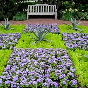 Агератум Хоустона прекрасно смотрится в садовом дизайне