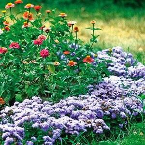 Агератум хорошо смотриться в садовом дизайне